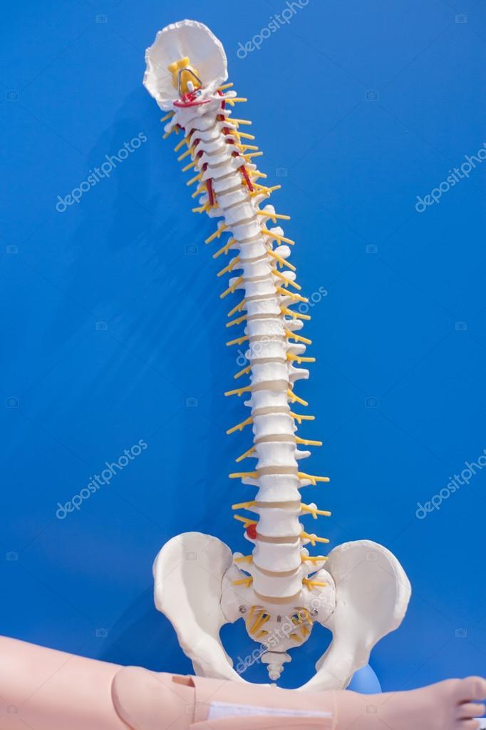 órganos humanos, modelo de columna vertebral — Foto de stock ...