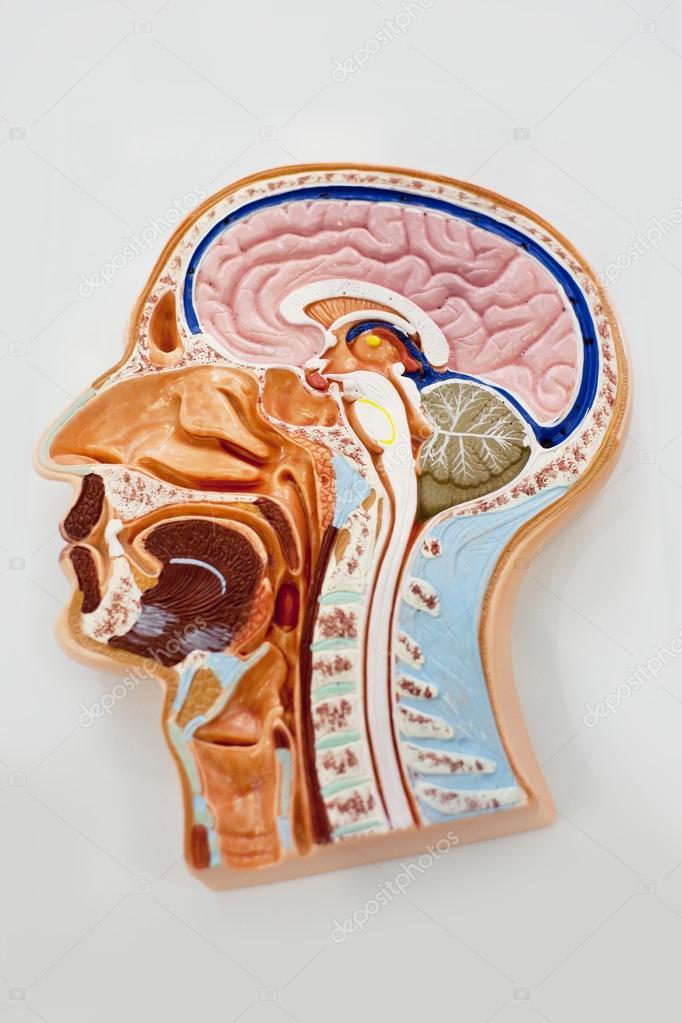 modelo del cuerpo humano, diagrama de anatomía cerebral — Fotos de ...
