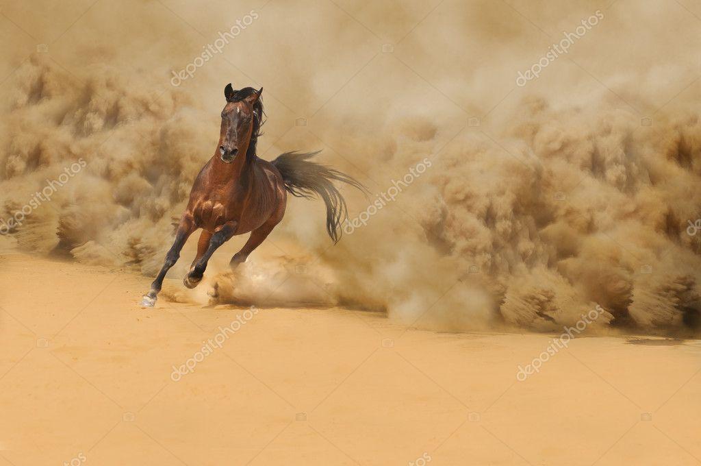 Purebred arabian horse running in desert