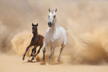 Arabian Mare and foal running out of the Desert Storm