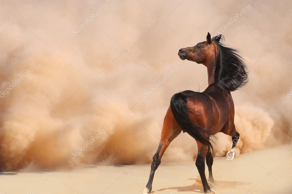 cheval arabe photographie
