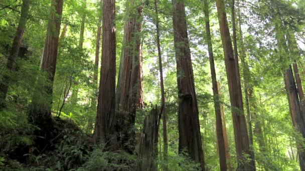 Redwood stromy v lese