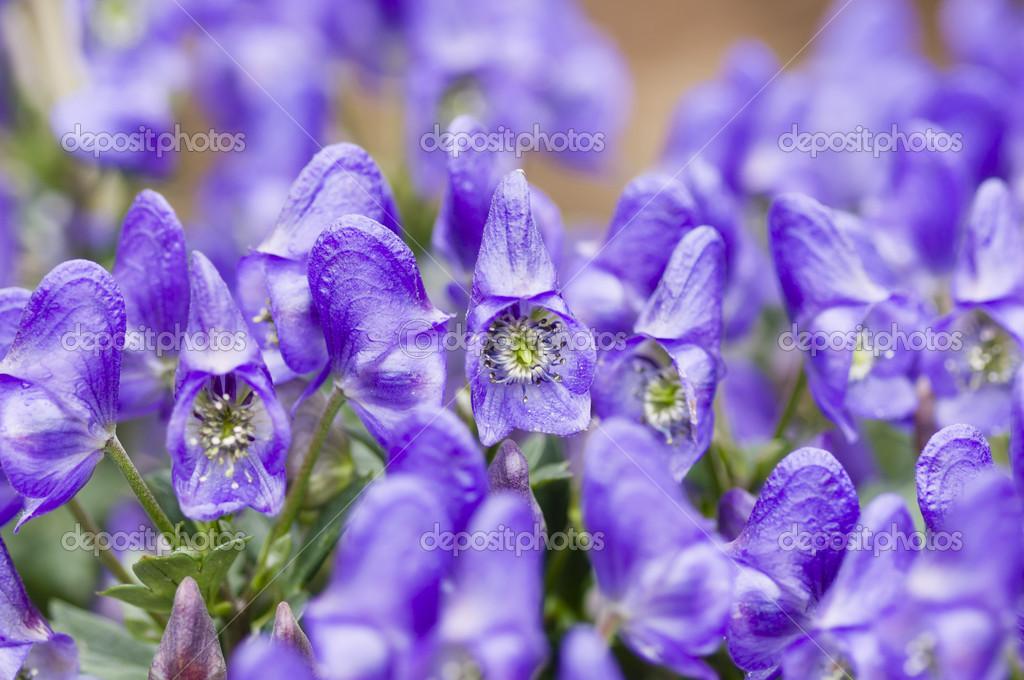цветы борец фото