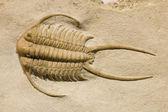 Fotografie Fossiler Trilobit mit Dornen