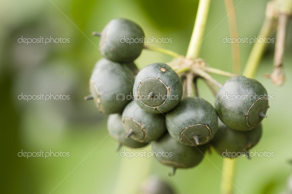 Beeren Von Efeu Pflanze Stockfoto Alessandrozocc 21254955