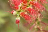 červené květy pestíky