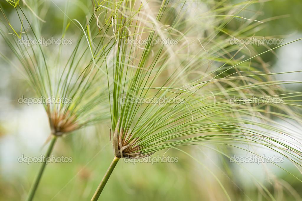Papier Reed Plant Stockfoto Alessandrozocc 27424743