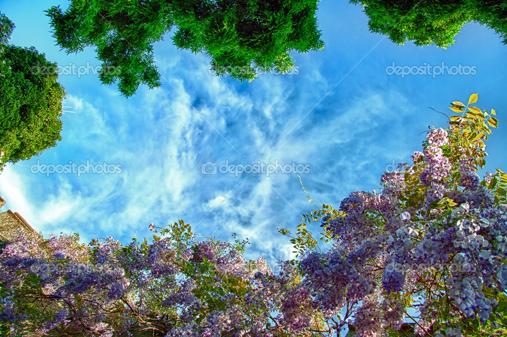 Blooming Wisteria against blue sky background