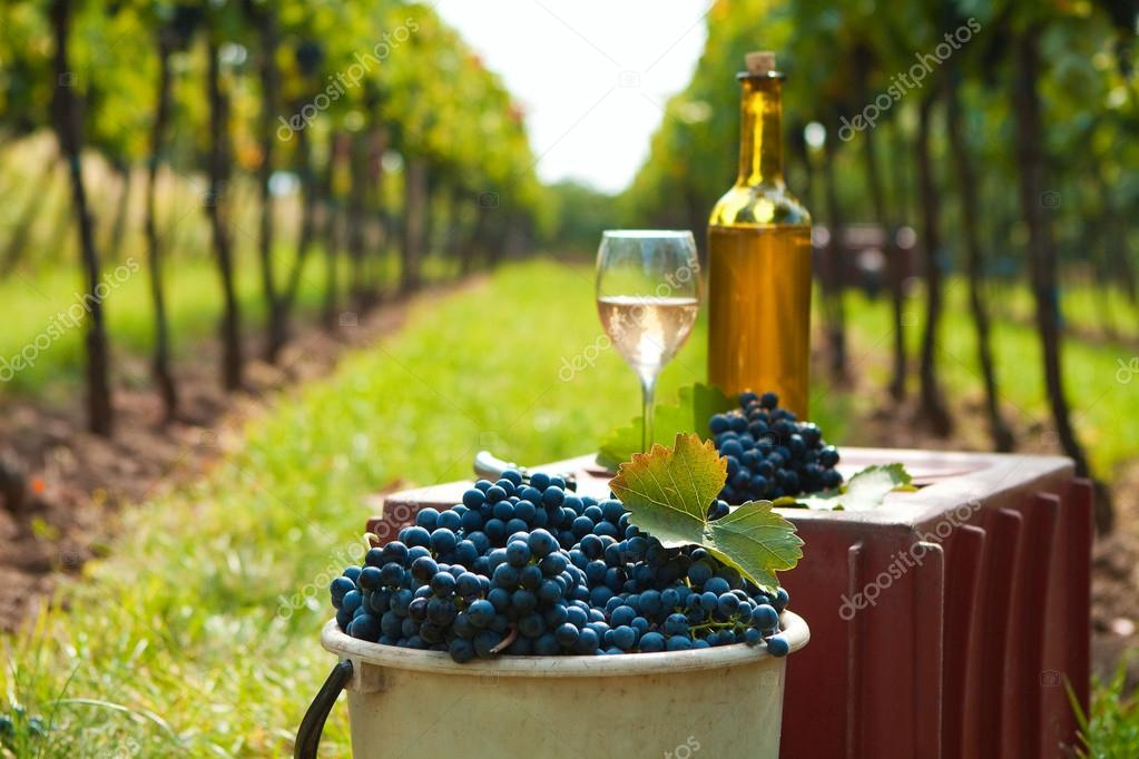 Harvest of vine