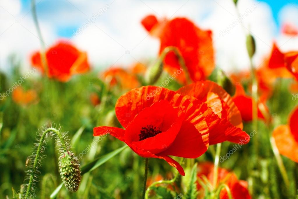 Poppy flowers in sunny day
