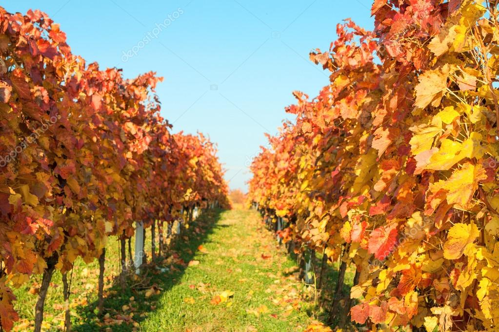Autumn vineyards with colorful leaves