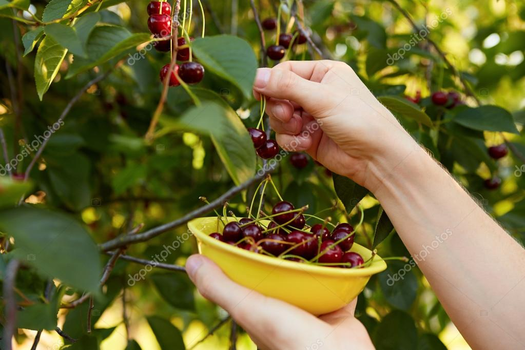 Man harvesting ripe cherries