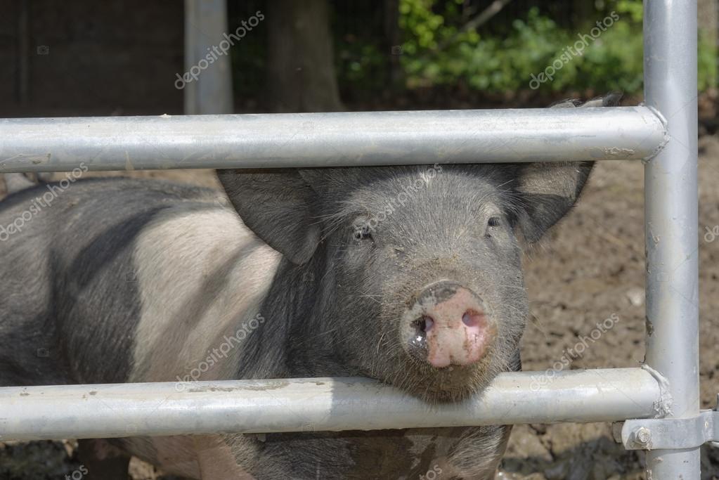 Фото свиней у людей в сараях