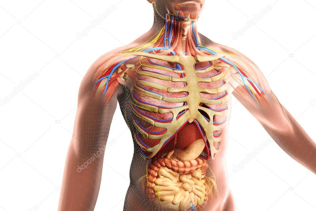 Anatomía del ser humano — Foto de stock © vitstudio #35636747