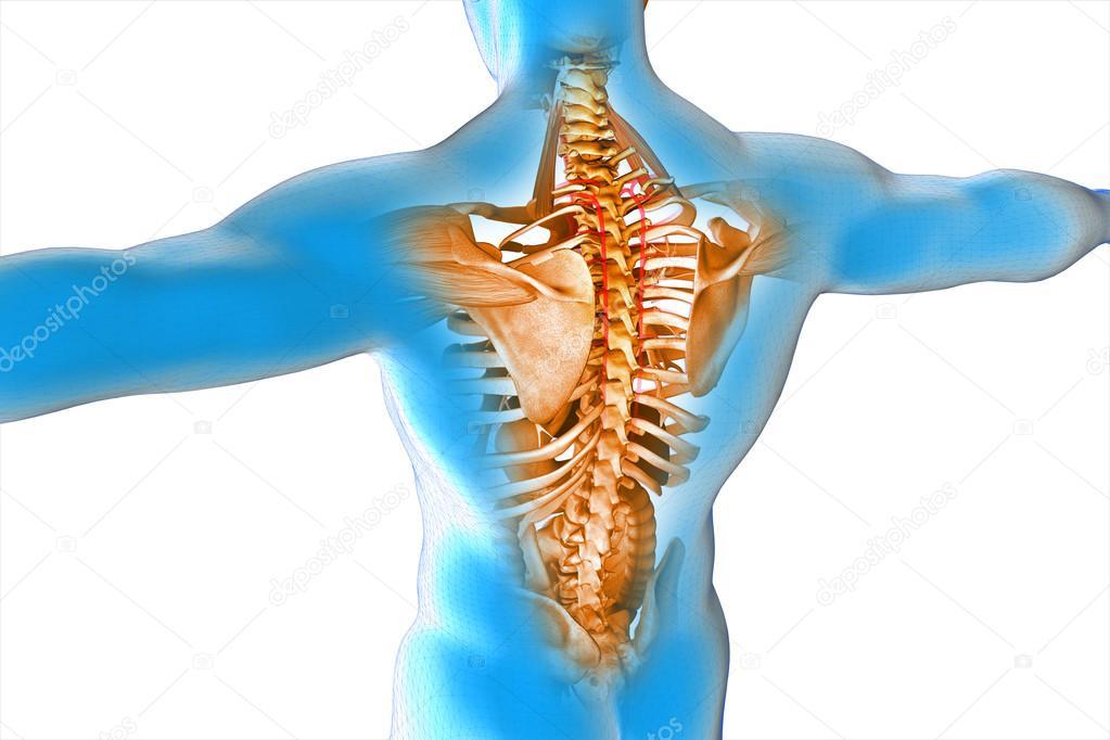 anatomía interna de órganos humanos — Fotos de Stock © vitstudio ...