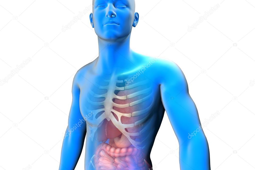 Internal Anatomy Of Human Organs Stock Photo Vitstudio 35639351