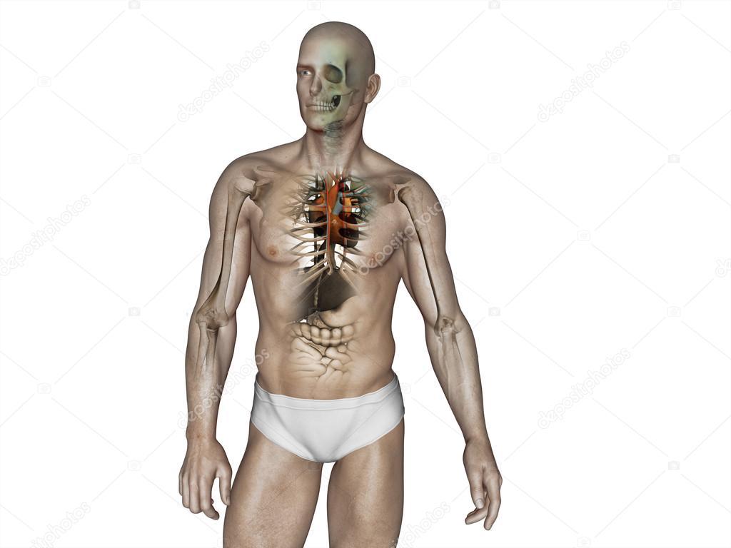 Mann-Anatomie — Stockfoto © vitstudio #35650109