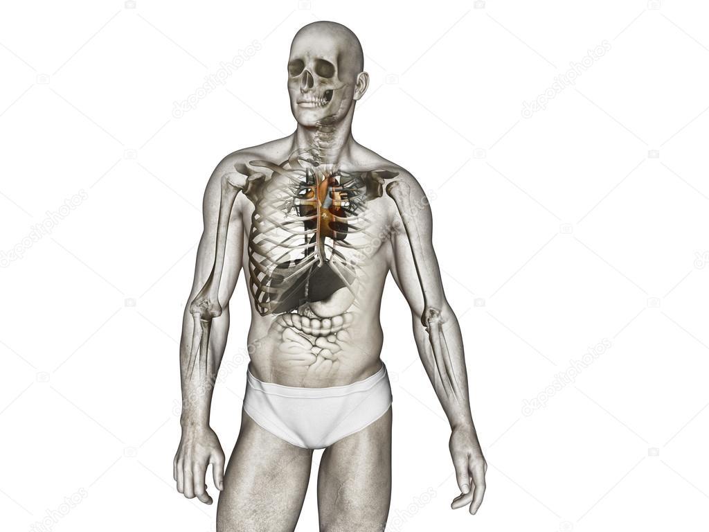 Anatomie des menschlichen Körpers — Stockfoto © vitstudio #35668329