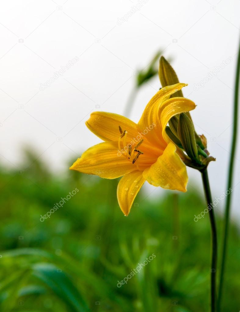 Lilium martagon on the slopes of a hill.
