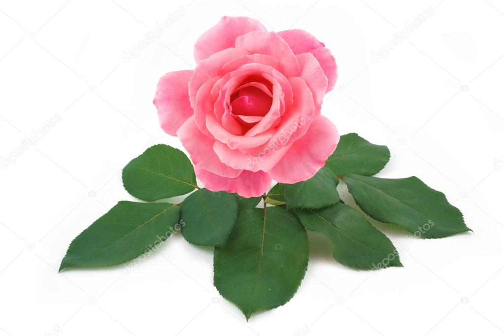 Rose pink flower isolated
