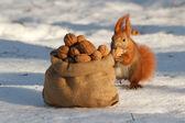 Fotografie Squirrel gnaws a nut