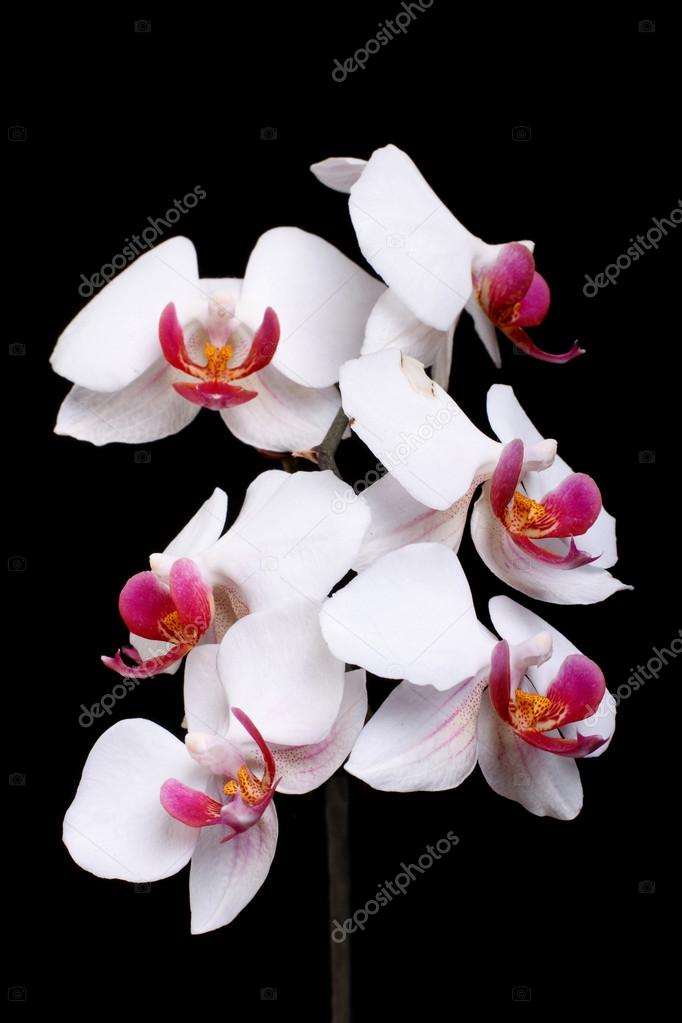 Beautiful blooming white orchid on a black background. low key