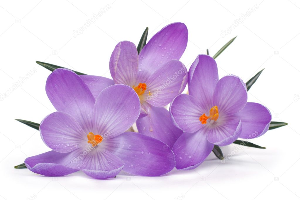 Spring flowers isolated on a white background. Crocus.