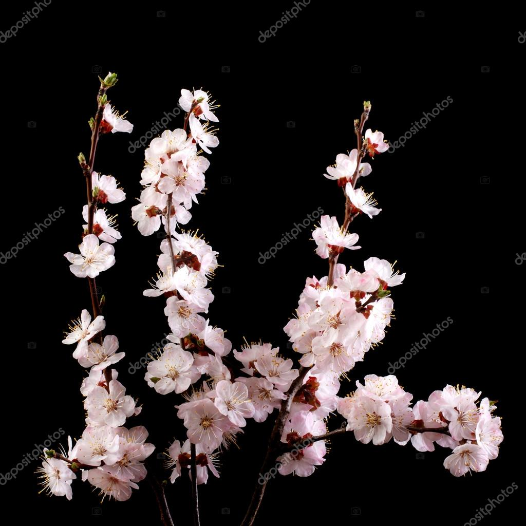 A branch of apricot with pink flowers on a dark background.