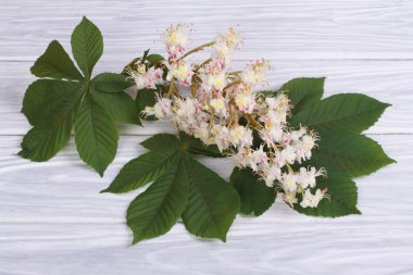 Chestnut flowers with green leaves