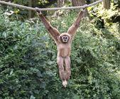 fiatal gibbon majom