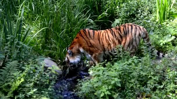 ivás tigris
