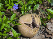Fotografie Southern three-banded armadillo (Tolypeutes matacus)