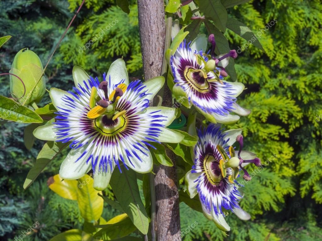Blue Passion Flower Passiflora Caerulea Stock Photo Belizar