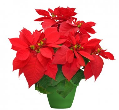 beautiful poinsettia