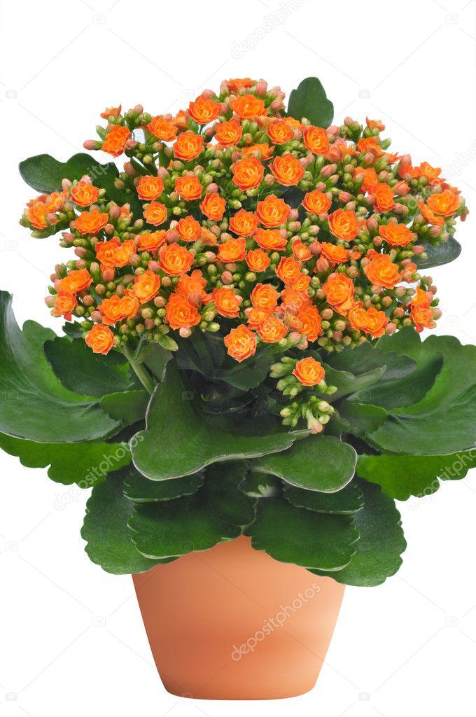 Fleur Kalanchoe Orange Photographie Boguslavovna C 37461991