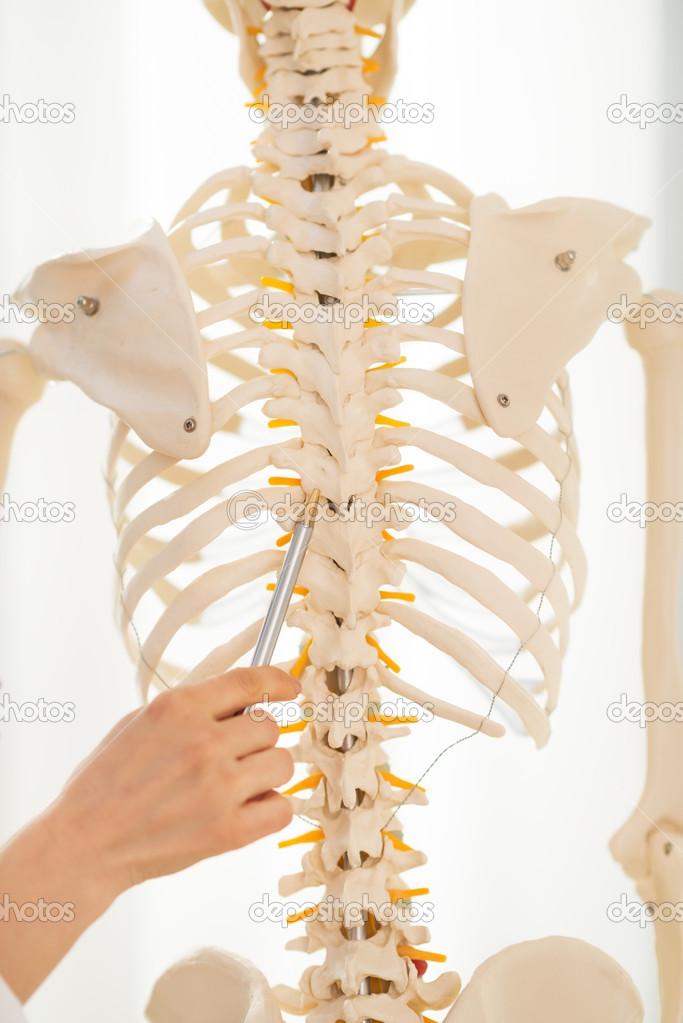 Doctor apuntando en la espina dorsal del esqueleto humano — Fotos de ...