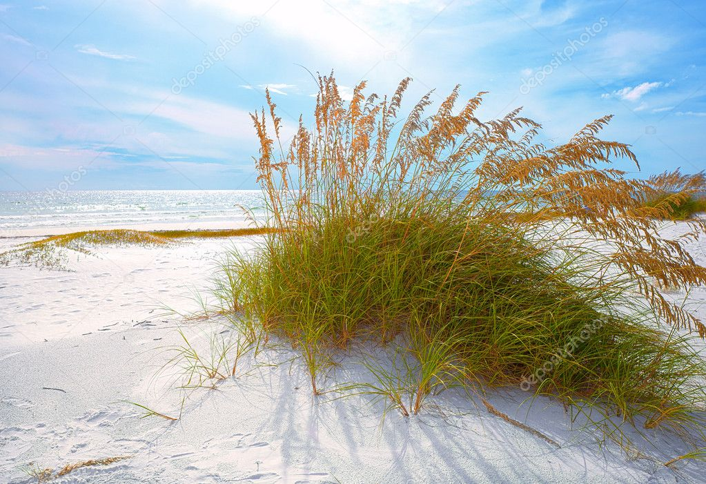 Summer landscape with Sea oats and grass dunes on a beautiful Florida beach
