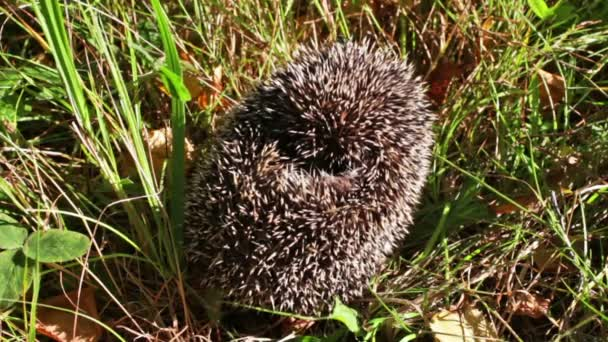Frightened hedgehog
