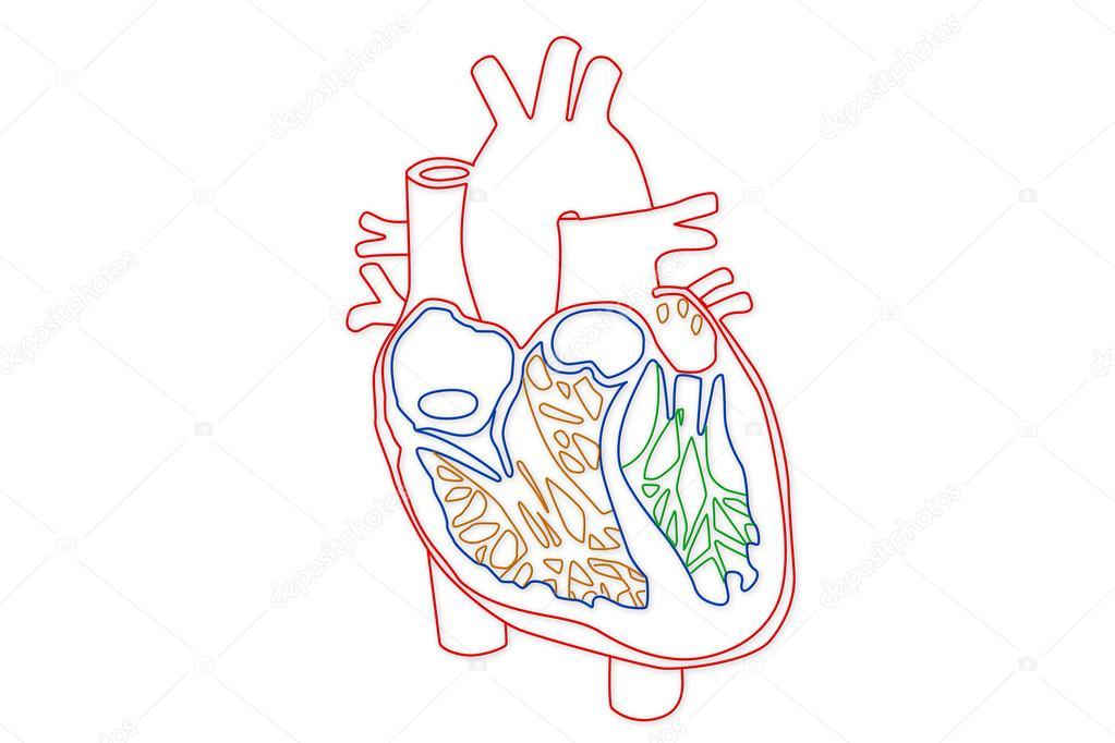 Human Lung Structure Stock Photo Boscorelli 15855193