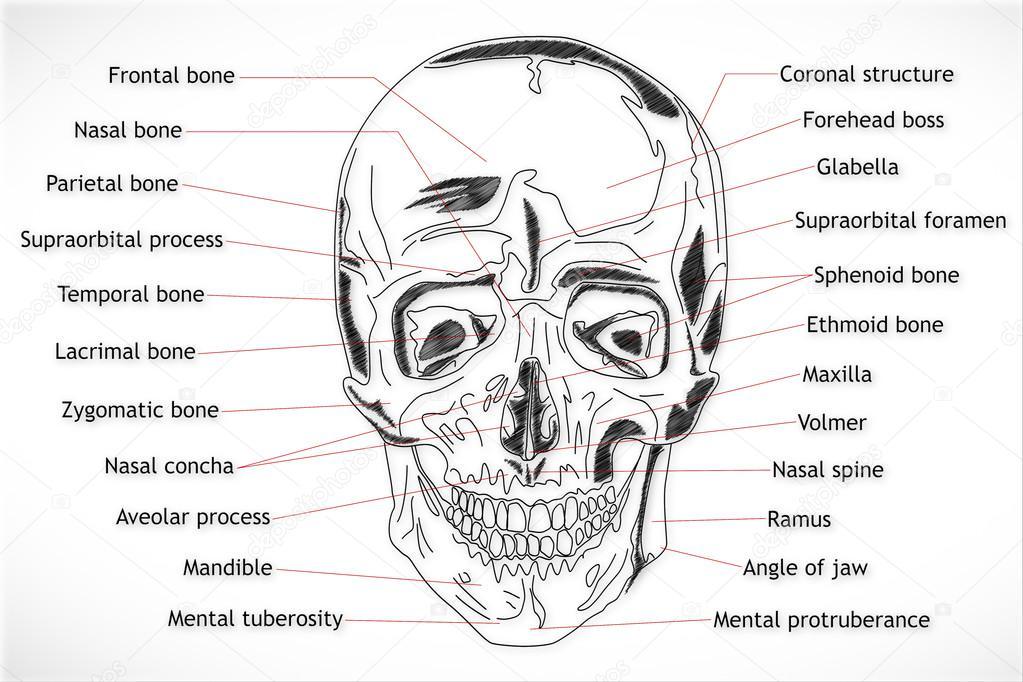 menschlicher Schädel-Struktur — Stockfoto © boscorelli #15855263