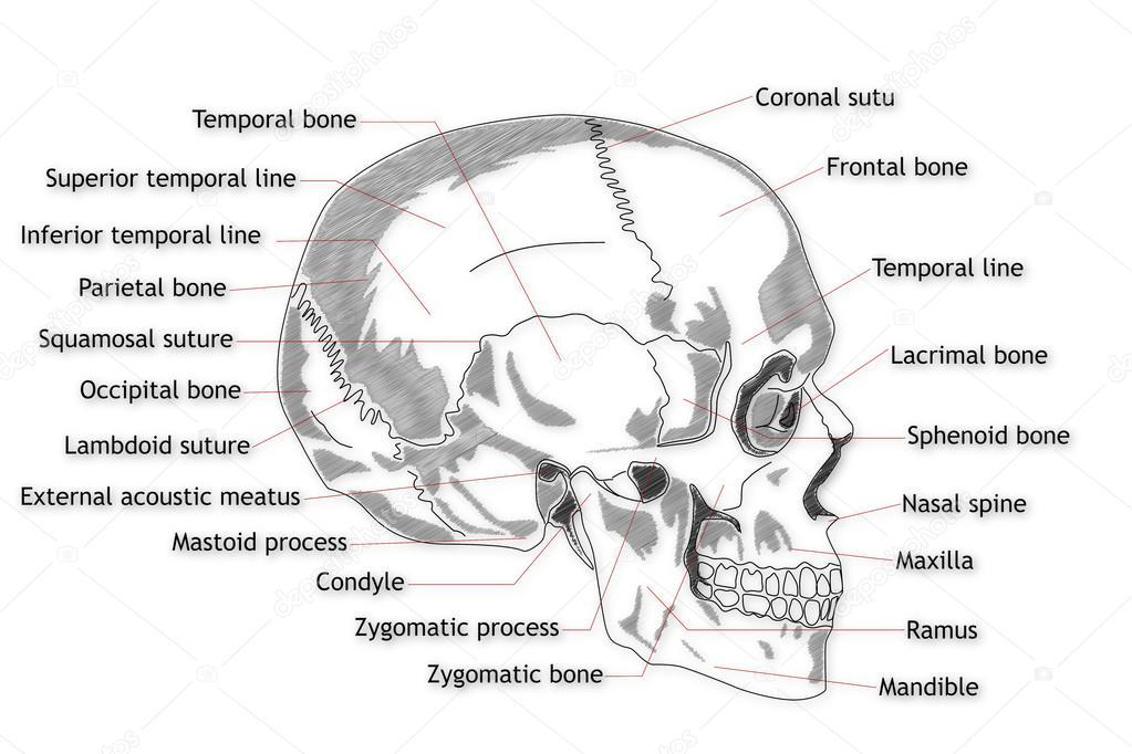 menschlicher Schädel-Struktur — Stockfoto © boscorelli #15855285