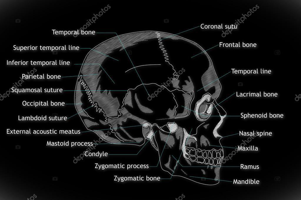 menschlicher Schädel-Struktur — Stockfoto © boscorelli #15855289