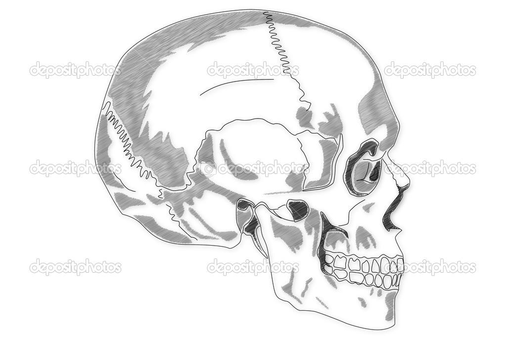 menschlicher Schädel-Struktur — Stockfoto © boscorelli #15855291