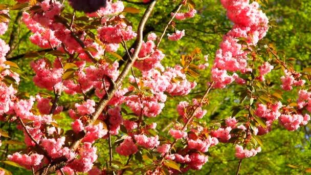 Springtime cherry blossoms tree