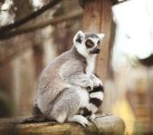 Niedlicher Lemur mit Streifen am Schwanz sitzt auf dem Stück Holz und schaut nach rechts
