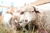 Fotografia pecore mangiando erba e fieno in una fattoria rurale