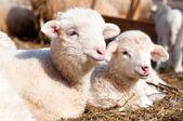 agnelli riposando e dormendo con il gregge in una fattoria rurale