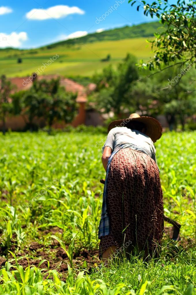Old woman farmer working her corn fields