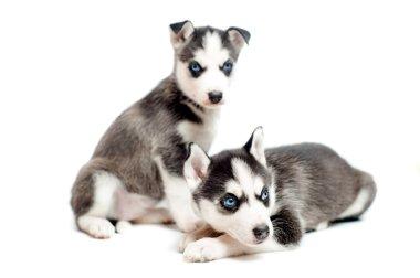 Two cute, 4 weeks old siberian husky puppies