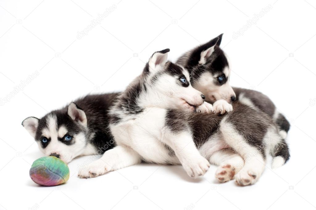 Tres cachorros huskys jugando con una pelota en estudio - Tres estudio ...